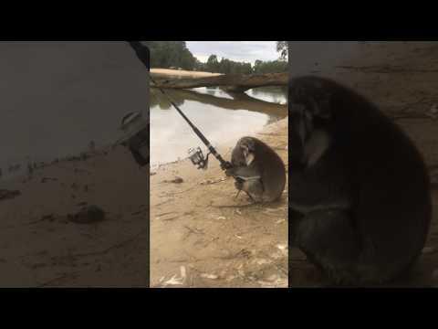 Коала нашла удочку и решила порыбачить