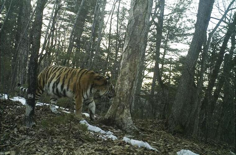 В Приморье были замечены три амурские тигрицы, принесшие потомство