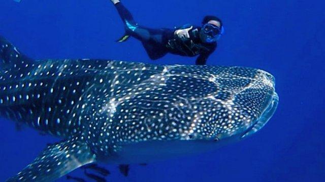 Китовые акулы в акватории провинции Чумпхон в Таиланде