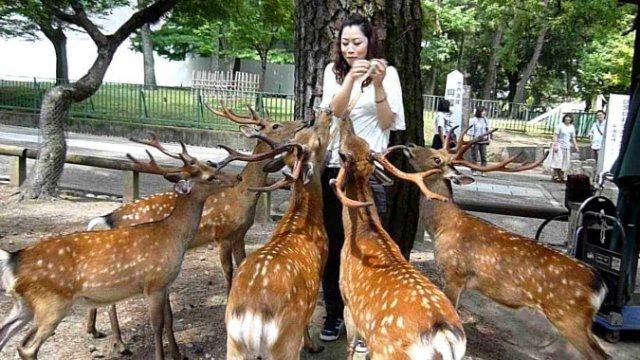 Японские олени покусали туристов-обманщиков