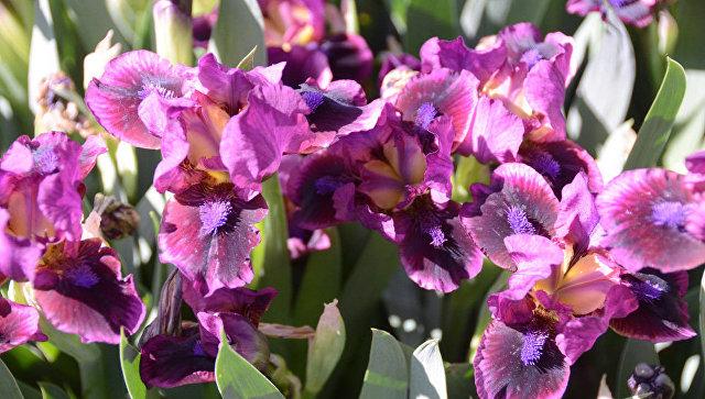 В Никитском ботаническом саду расцвели ирисы-медалисты