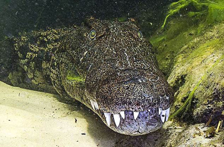 Туристы платят £5000 за опасное плавание с крокодилами