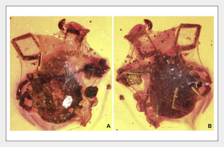 Ученые обнаружили клеща возрастом 99 млн лет в янтаре