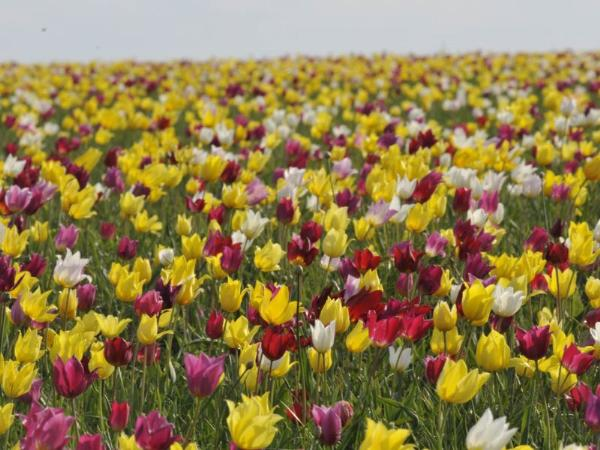 Саратовский фестиваль тюльпанов посетили 40 тысяч туристов