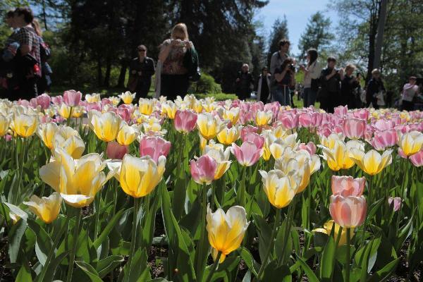 В Петербурге открывается фестиваль тюльпанов
