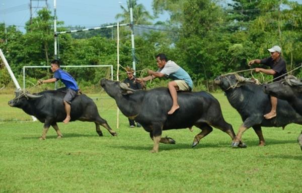 Традиционные гонки на буйволах проведут в Лимбанге