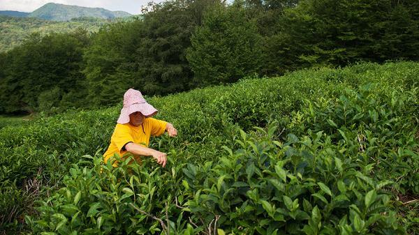 В Сочи провели фестиваль в честь начала сезона сбора чайного листа