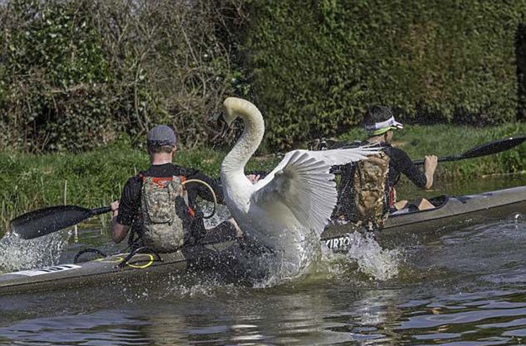 Злой лебедь Альберт не дает людям плавать по каналу