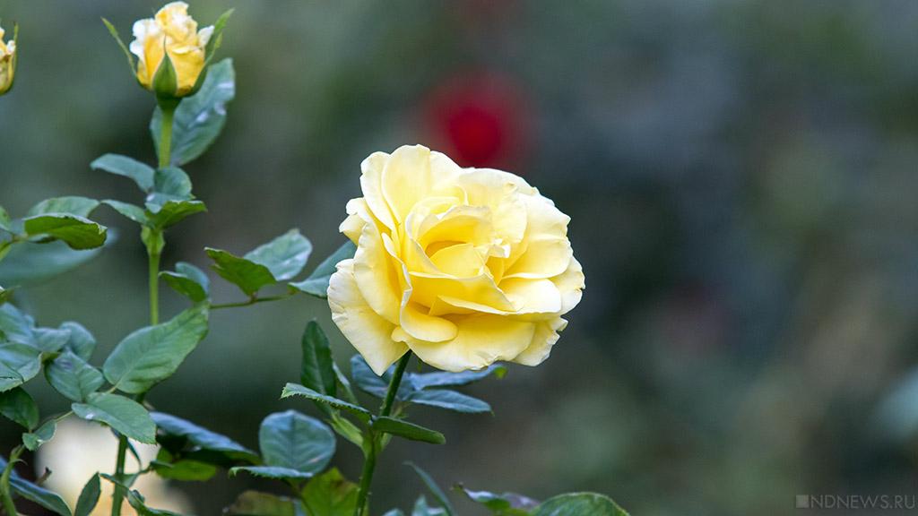 В Никитском саду распустились тысячи цветочных «королев»