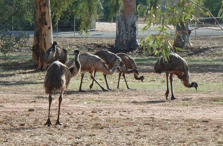 Австралийский городок подвергся нашествию страусов эму