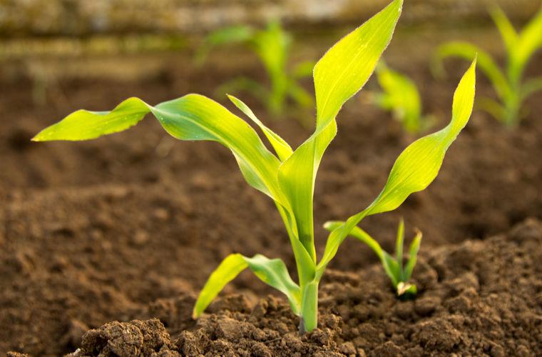 Растения обмениваются сообщениями под землей