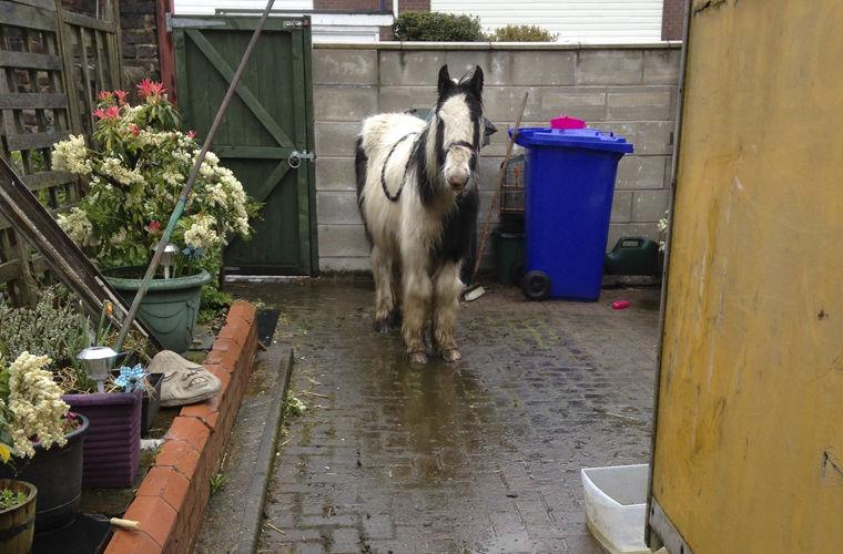 Пони, найденного девочкой по объявлению, доставили на дом