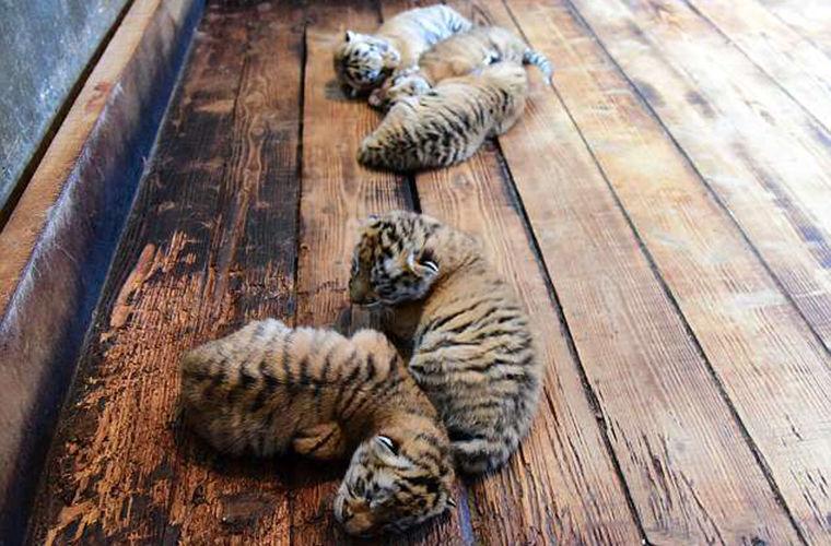 Одна тигрица увеличила число амурских тигров на 1%