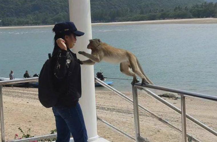 Сумасшедшие обезьяны атакуют людей в Таиланде