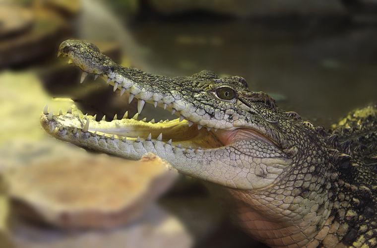 Крокодилам дали послушать Баха в сканере МРТ