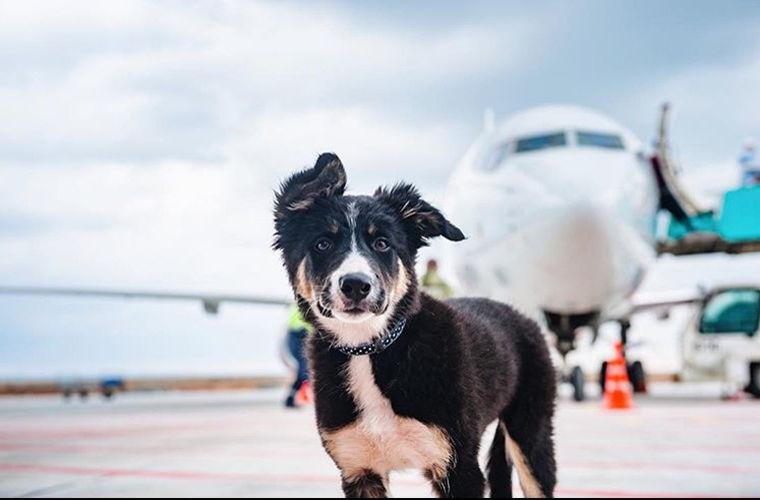 Талисман аэропорта Симферополя колли Алиса становится популярна