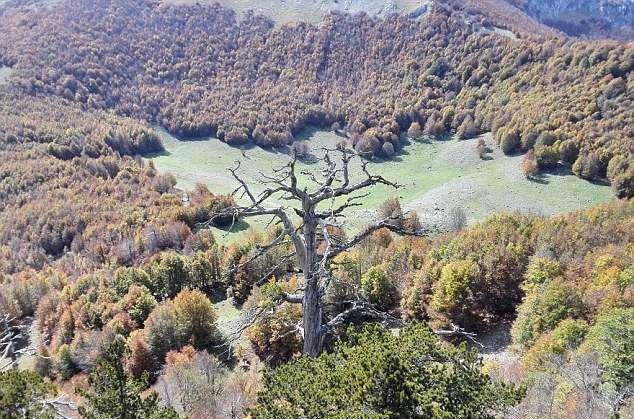 Самое старое дереве в Европе нашли в Италии