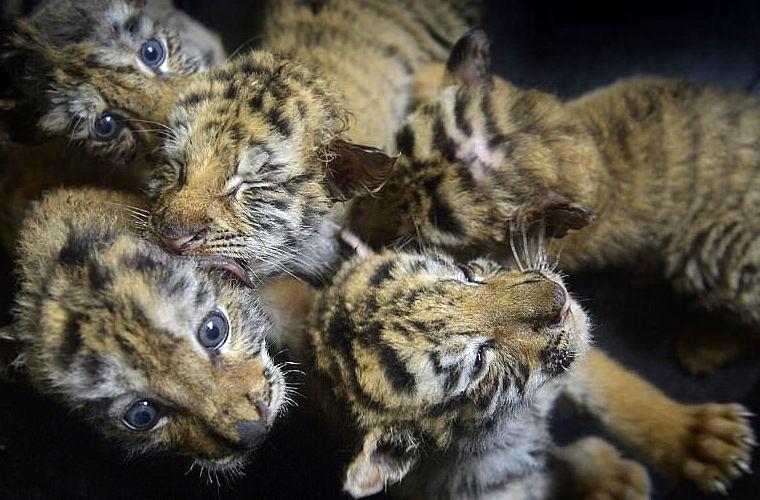 В китайском зоопарке родились 24 детеныша амурского тигра