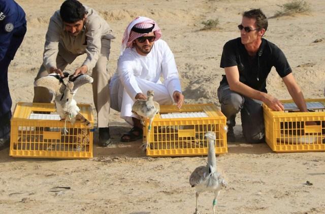 В ОАЭ выпущено 1000 культивируемых в Пакистане особей вихляев (Houbara)