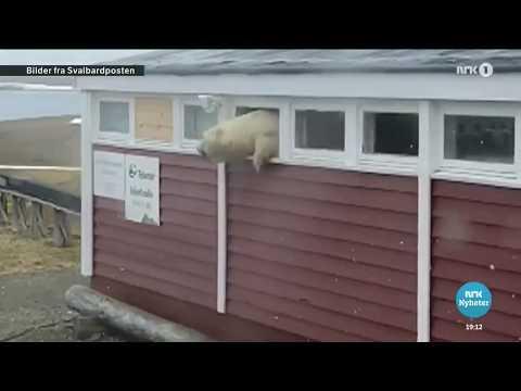 Медведь разгромил отель и застрял в окне