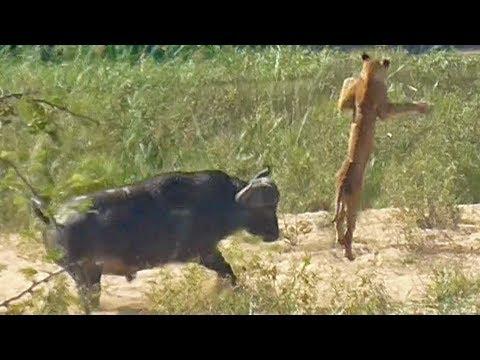 Буйвол спасает ящерицу от львов
