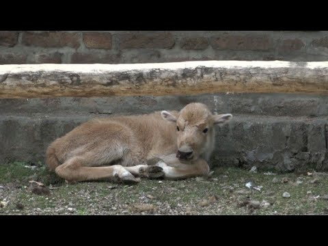 В белградском зоопарке родился детеныш белого бизона