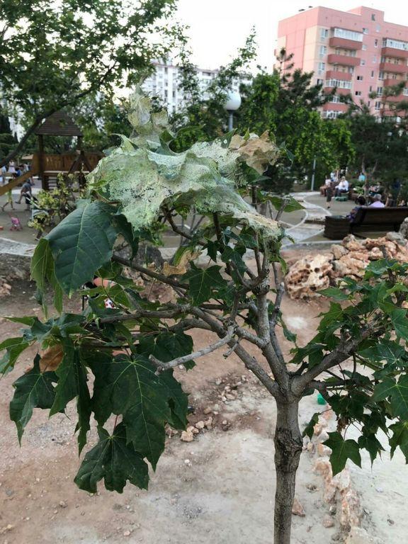 В парках Севастополя масштабно «гадит» американская бабочка