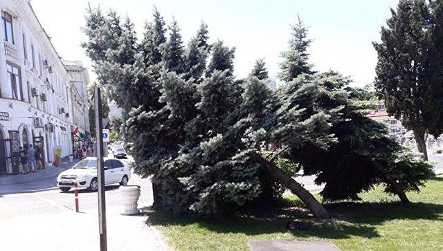 В Севастополе спилили пятиметровую голубую ель: горожане бьют тревогу