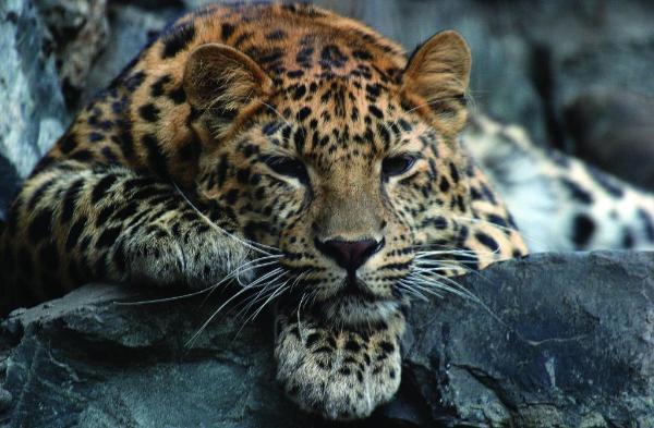 В Приморье пройдет фестиваль «Земля леопарда – на стыке культур»
