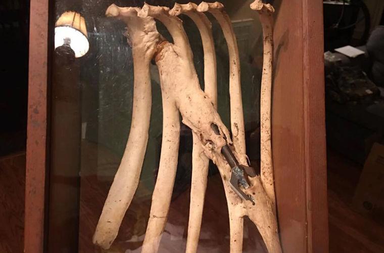 Олень прожил несколько лет со стрелой в ребрах