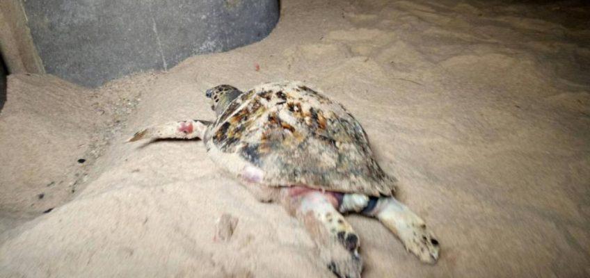 В Таиланде на пляже находят мертвых черепах