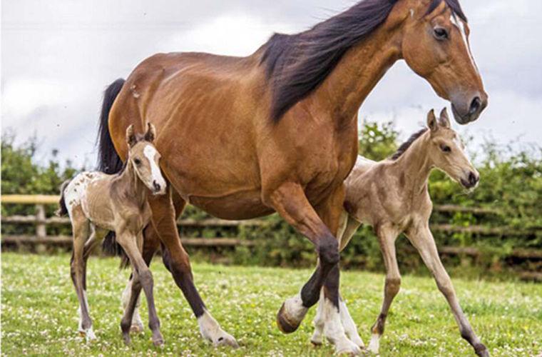 В Британии родились редкие близнецы-жеребята