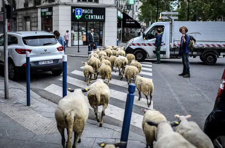 Овцы оккупировали пригороды Парижа