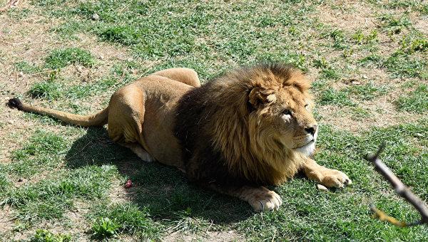 "В крымском парке ""Тайган"" лев напал на туристку"