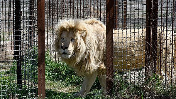 "Следком проверяет факт нападения льва на туристку в ""Тайгане"""