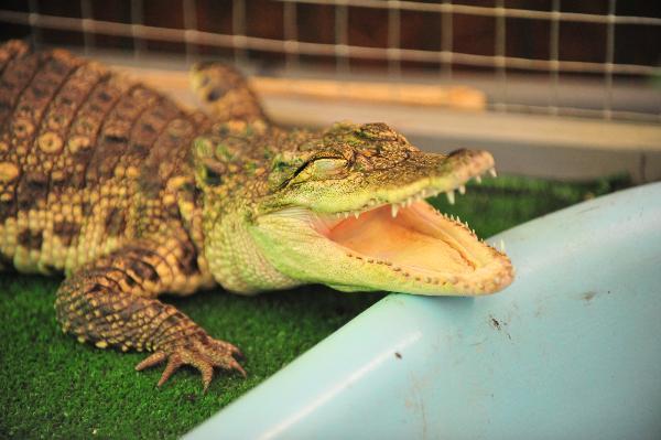 В Коломне на крокодиловой ферме откроют приют для экзотических животных