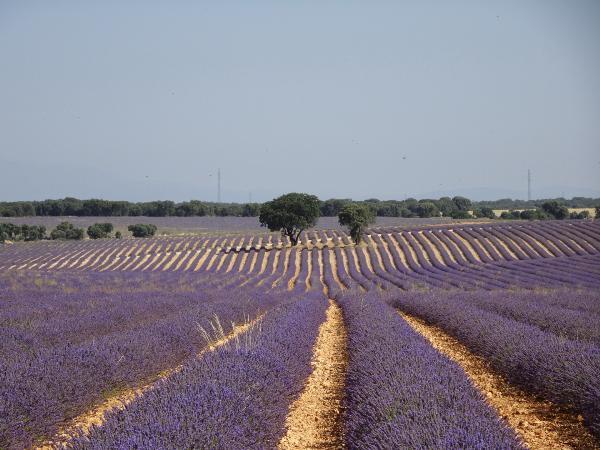 В испанской Бриуэге расцвели лавандовые поля