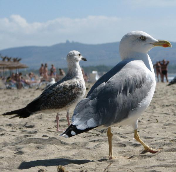 Барселонские чайки нападают на людей