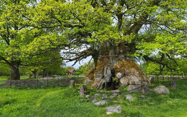 Одно из старейших деревьев Европы может не дожить до следующего года