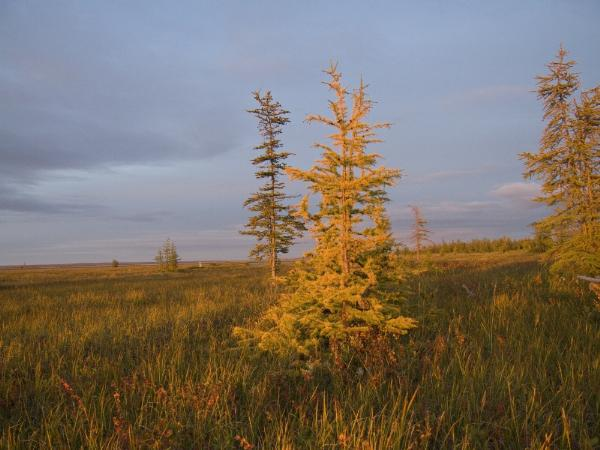 На Таймыре организовали туристический маршрут в самом северном лесу мира
