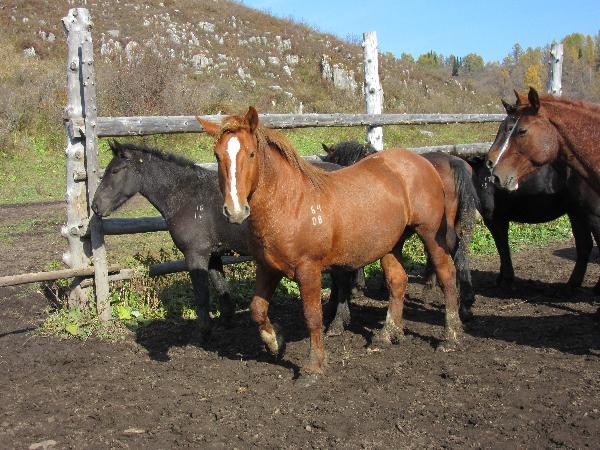 На Алтае будут выводить первую в мире туристическую породу лошадей