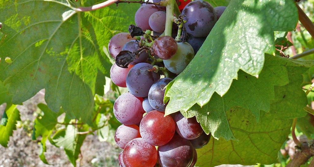 Севастополец на свидании в винограднике убил сожительницу за «недостаток романтизма»