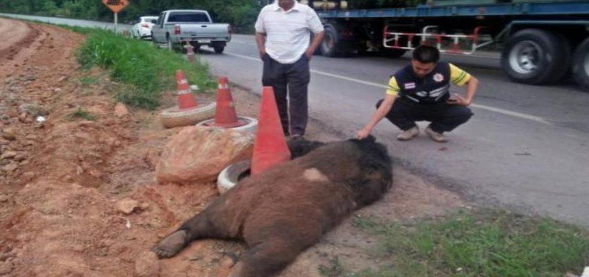 ДТП с медведем – в Таиланде грузовик сбил азиатского черного медведя