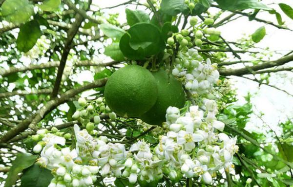 Хюэ анонсировал праздник грейпфрутов Тхань