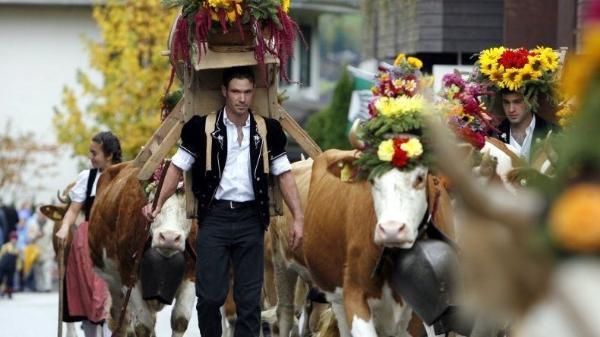 Праздники каштанов и конкурс красоты среди коров в Швейцарии