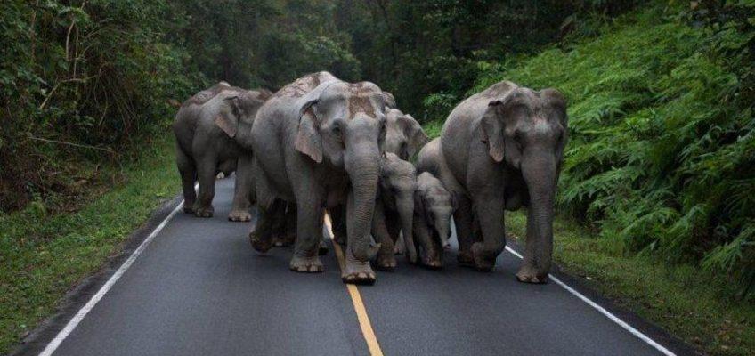 Как себя вести при встрече с диким слоном в Таиланде (ВИДЕО)