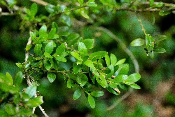 Экологи и волонтеры планируют проложить в Адыгее «Тропу в сказочный самшит» в 2019 году