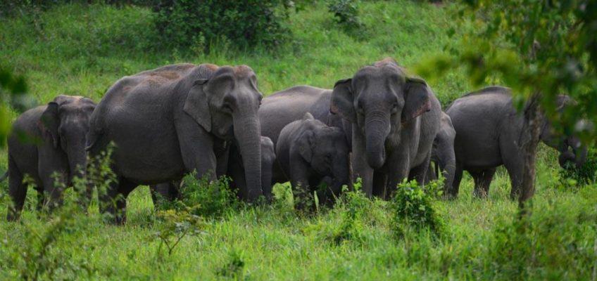 Дикие слоны затоптали насмерть двух грибников в Таиланде