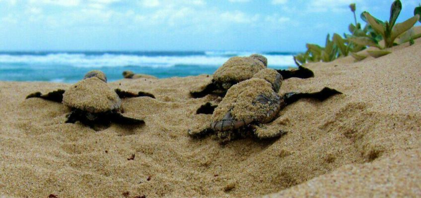 В Таиланде черепаха отложила сотню яиц на пляже (ВИДЕО)