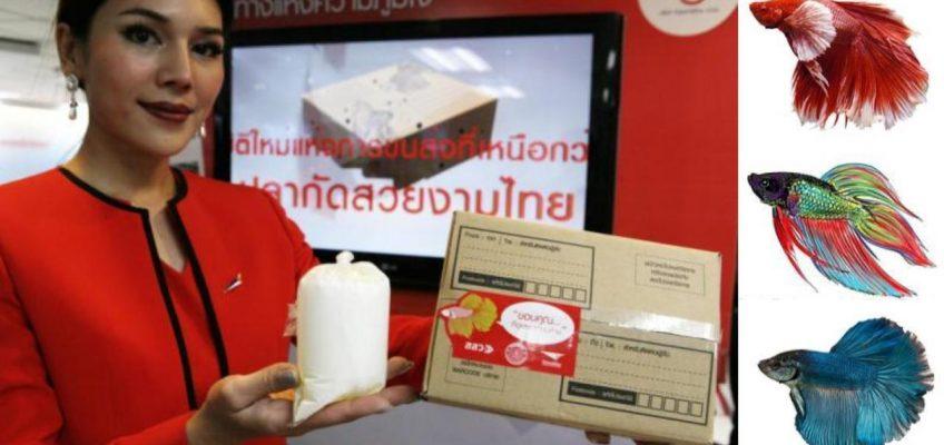Почта Таиланда начинает доставку сиамских бойцовых рыбок